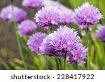 Onion Flowers Field