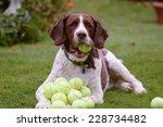 Springer Spaniel Hoards Tennis...