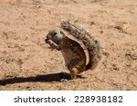South African Ground Squirrel...