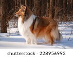 A Rough Collie Dog Standing In...