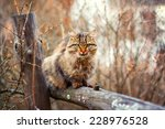 Siberian Cat Siting On A Fence...
