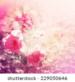 Stock photo beautiful rose flowers made with color filters 229050646