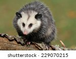 Young Female Possum On Branch