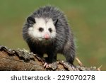 Curious Female Possum On Branch