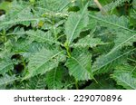 Small photo of Sea holly ( Acanthus ebracteatus)