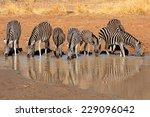plains zebras  equus burchelli  ... | Shutterstock . vector #229096042