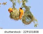 Golden Southern Masked Weaver   ...
