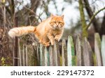 Stock photo fluffy ginger tabby cat walking on old wooden fence 229147372