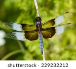 Widow Skimmer Dragonfly ...