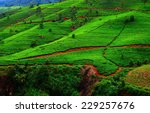 fields of tea. plantation in... | Shutterstock . vector #229257676