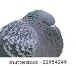 Downy Rock Pigeon