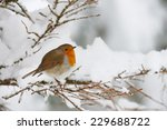 Robin Shivering In The Snow ...