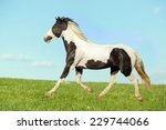 Young Horse Running Free In Th...
