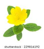 top view of yellow primrose... | Shutterstock . vector #229816192