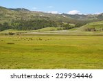 A Herd Of Bisons Grazing In Th...