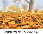 dry autumn leaves on the ground ... | Shutterstock . vector #229964752