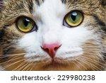 a cat portrait close up | Shutterstock . vector #229980238