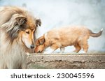 Portrait Of Rough Collie With...