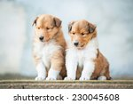 Two Rough Collie Puppies...