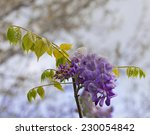 Small photo of Closeup of blooming wisteria (American Wisteria)