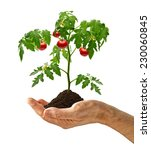 Tomato Plant With Soil In Hand...