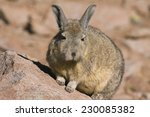 Small photo of Viscacha, a relative of rabbits and chinchilla, Potosi region of Bolivia