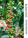 Arsbica Coffee Berries On Tree