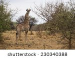 giraffe in the bushes. south... | Shutterstock . vector #230340388