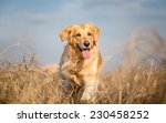 Golden Retriever Dog Running...