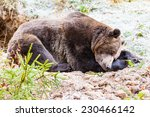 Sleeping Brown Bear In Winter