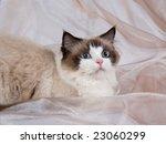 ragdoll cat seal bi color on... | Shutterstock . vector #23060299