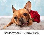 brown french bulldog with red