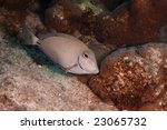 Small photo of Ocean Surgeonfish (Acanthurus bahianus) swimming along reef, Bonaire, Netherlands Antilles