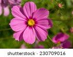 Cosmos Flower  Cosmos...