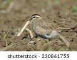 eurasian dotterel  charadrius... | Shutterstock . vector #230861755