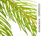 image of fir branches with drops | Shutterstock . vector #230905315