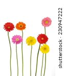 Stock photo colorful gerbera flowers isolated 230947222