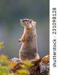 Yellow-bellied marmot - stock photo
