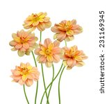 Stock photo dahlia blooming dahlias on a white background 231169345
