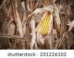 Beautifully Colored Corn In...