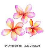 plumeria   frangipani flowers... | Shutterstock . vector #231290605