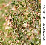Small photo of Maple Sycamore Acer Rubrum Winged Seeds