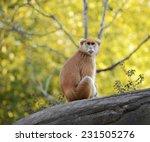 Female Patas Monkey ...