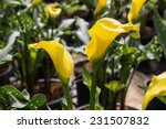 Calla Lily With Many Leaves As...