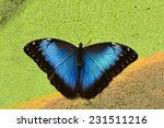 Blue Morpho Butterfly Clings T...