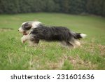 Bearded Collie Running In...