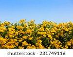 Yellow Chrysanthemum In Full...