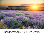 meadow of lavender at sunset | Shutterstock . vector #231750946