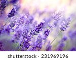soft focus on lavender flower | Shutterstock . vector #231969196