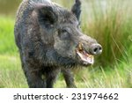 Wild Boar Against A Background...